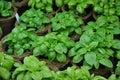 Basil plants Ocimum basilicum in a greenhouse Royalty Free Stock Photo