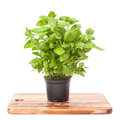 Basil in a pot isolated on white background Royalty Free Stock Photo