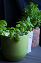 Basil in pots fresh genovese and greek Royalty Free Stock Photos