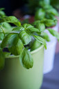 Basil in pots fresh genovese and greek Stock Image