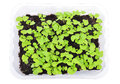 Basil seedlings isolated. Top view. Royalty Free Stock Photo