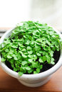 Basil sprouts in a pot Stock Photos