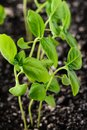 Basil sprouts Royalty Free Stock Photo