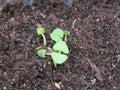 Basilic Plant