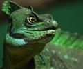 Basilisk lizard the native to south america Royalty Free Stock Photos