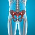 Basin pelvis human body x-ray Royalty Free Stock Photo