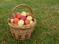 Basket of apples Stock Images