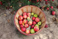 Basket of apples a freshly picked red and green Royalty Free Stock Images