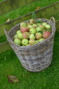 Basket apples in grass field Stock Photo