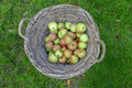 Basket apples in grass field Stock Photos