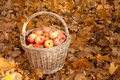 Basket with apples stand on earth on maple leaves Royalty Free Stock Photo