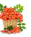 Basket with berries rowan and wild roses Stock Photo