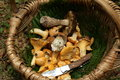 Basket of ceps and chanterelles or porcini mushroom chanterelle or girolle cantharellus cibarius Stock Photo