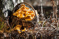 Basket of chanterelles in the forest Royalty Free Stock Photo