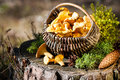 Basket of chanterelles on stump in the forest Royalty Free Stock Photo