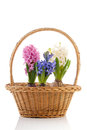 Basket colorful Hyacinths Royalty Free Stock Image