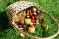 Basket of conkers (horse chestnuts) Stock Photography
