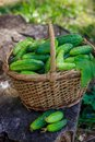 Basket with cucumbers. Autumn harvesting. Summer harvest. Blanks for the winter. Basket of vegetables. Fresh cucumbers Royalty Free Stock Photo