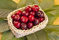 Basket of delicious cherries with cherry leaves around Royalty Free Stock Images