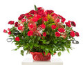 Basket with fifty red roses isolated on white background Stock Image