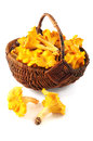 Basket with fresh golden chanterelles on white isolated backgrou Royalty Free Stock Photo