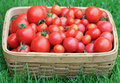Basket of Fresh Picked Garden Tomatoes Royalty Free Stock Photo