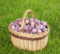 Basket of freshly picked plums Royalty Free Stock Photography
