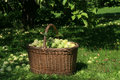 Basket full of apples Royalty Free Stock Photos