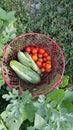 Basket full of fresh vegetables Royalty Free Stock Photo