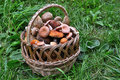 Basket full of mushrooms on the green grass Royalty Free Stock Image
