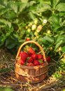 Basket full of strawberries at strawberry field farm, leaves lit Royalty Free Stock Photo