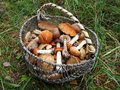 Basket full of various fresh wild edible mushrooms in a grass. Royalty Free Stock Photo