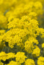 Basket of gold aurinia saxatilis in spring Royalty Free Stock Image