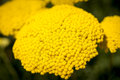 Basket of gold aurinia saxatilis in spring Royalty Free Stock Images