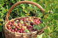 Basket with a gooseberry against a bush. Royalty Free Stock Photo