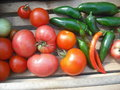 Basket of harvest heirloom tomatoes peppers and apples Royalty Free Stock Photos