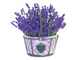 Basket of lavender flowers a pretty in full bloom white background Royalty Free Stock Images