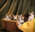 Basket of mainecoon kittens a full months old just sitting on a yellow blanket in front a yellowish green background Royalty Free Stock Images