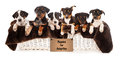 Basket of mixed breed puppies a six rottweiler doberman and australian shepherd that are eight weeks old Royalty Free Stock Photo