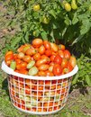 Basket of Plum Tomatoes Stock Photography