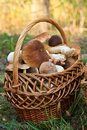Basket with porcini mushrooms Royalty Free Stock Photo