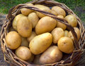 Basket with potatoes Stock Photos
