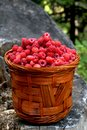 Basket with raspberries  from the forest Stock Image