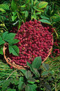 Basket of raspberries rubus idaeus wild in the Royalty Free Stock Photography