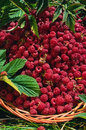 Basket of raspberries rubus idaeus wild in the Royalty Free Stock Image