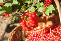 Basket of red currants in the garden Stock Photography