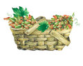 Basket wattled of veneer with fresh bunches of grapes. Royalty Free Stock Photo