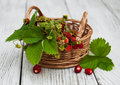 Basket with wild strawberries Royalty Free Stock Photo