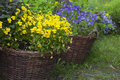 Baskets with viola two yellow and blue Stock Image