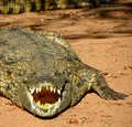 Basking croc a crocodile in the sun near pontdrift south africa Royalty Free Stock Images